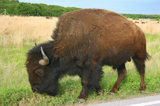 bob the buffalo